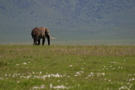 ngorongoro, Serengeti, elephant