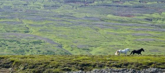 Horses in Iceland - Godafoss